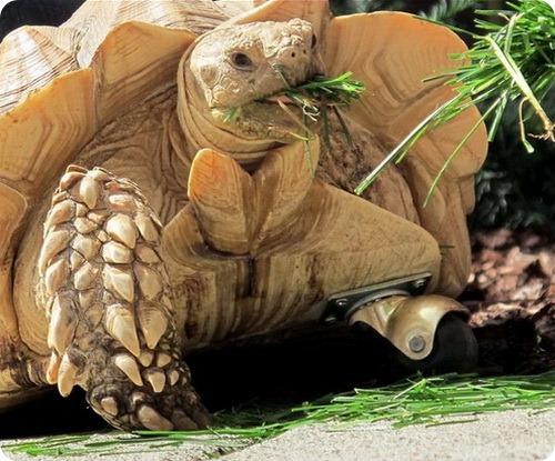 Черепаха на колёсах