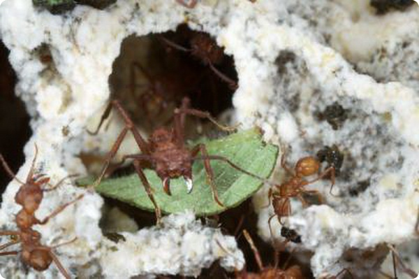 Опять о  муравьях-листорезах