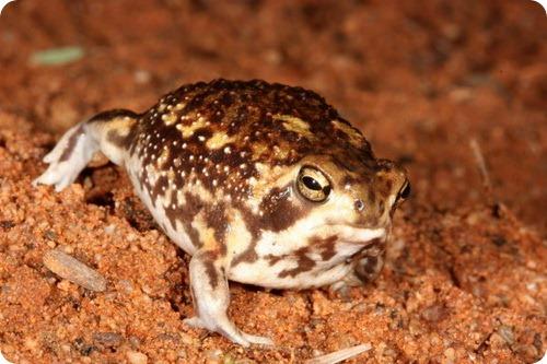 Bushveld Rain Frog (Breviceps adspertus)
