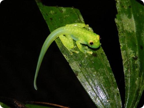 Hyalinobatrachium talamancae