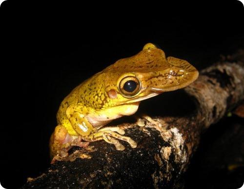 Shovelhead Treefrog (Diaglena spatulata)