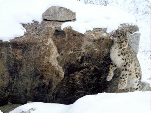 Афганские зеленые засняли снежного барса