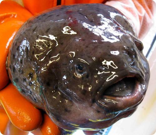 Рыба-лягушка