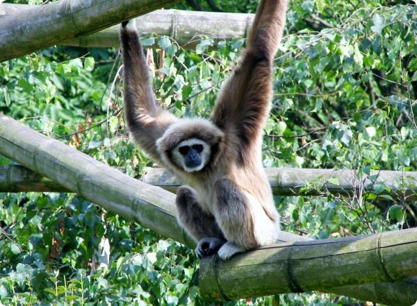 Самые верные приматы