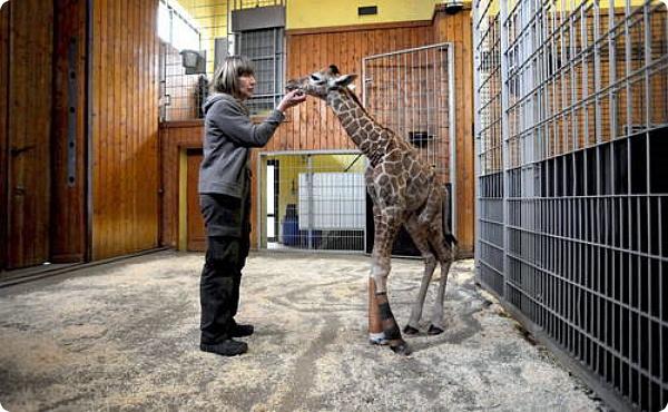 Жирафёнок выжил благодаря срочной операции