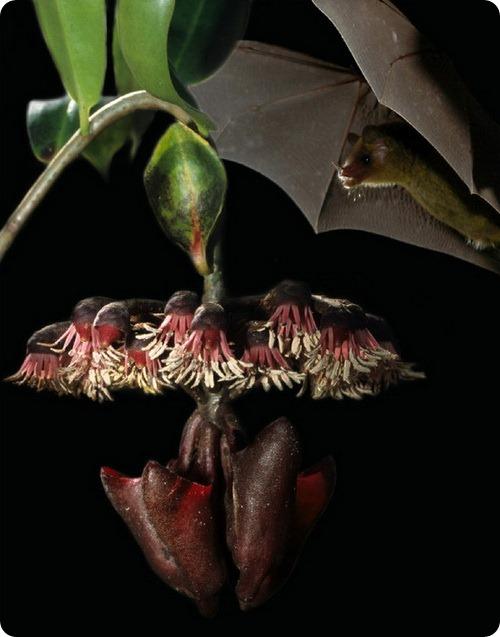 Листья наводят летучих мышей на цветы