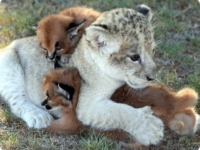Львенок и каракалы
