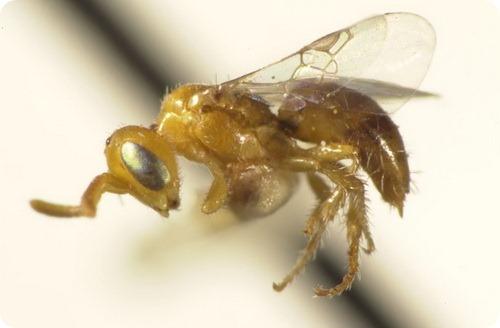 Карликовая пчела Perdita minima