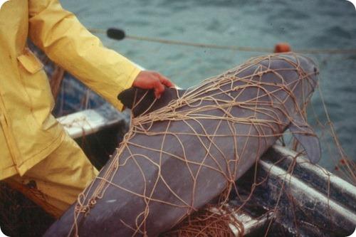 Вакита - Калифорнийская морская свинья
