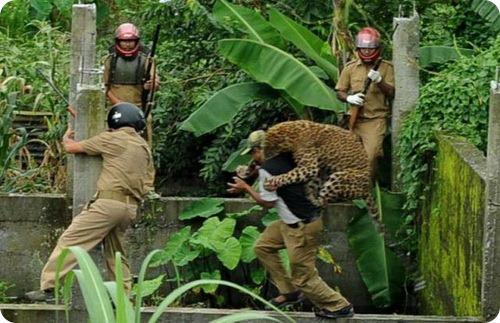 Голодный леопард держал в страхе целую деревню