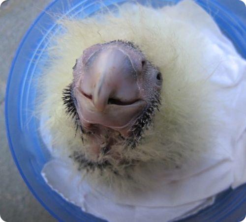 Буроголовый траурный какаду из Таронги