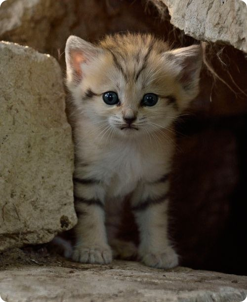 Барханный котенок из Тель-Авива