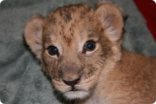 Маленькая львица из Сент-Луиса
