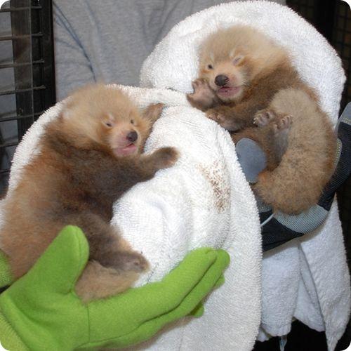 Красные панды из Национального Смитсоновского зоопарка