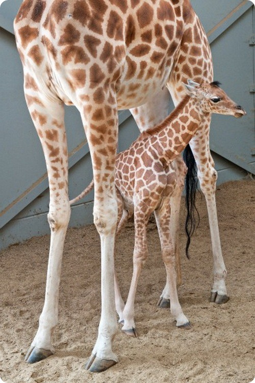 Детеныш жирафа из Бельгии