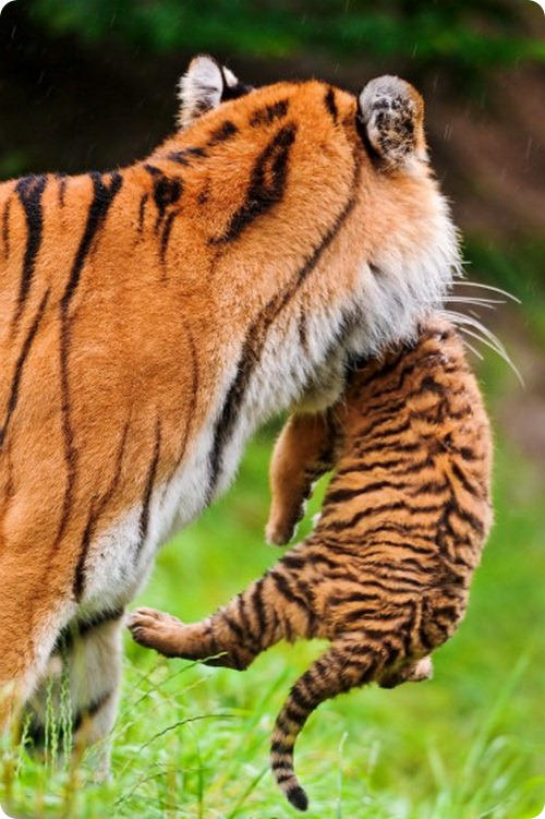 Амурские тигрята в зоопарке Цюриха