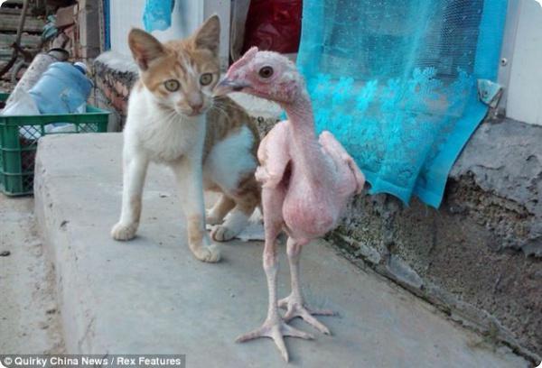 Лысый цыплёнок: уже готов к духовке...
