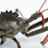 Хищнец — жук-убийца