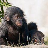 Бонобо или карликовый шимпанзе