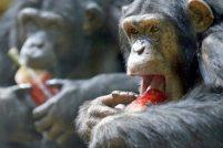 Шимпанзе вовсе не эгоисты