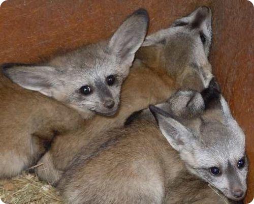 Большеухие лисицы из Оклахомы
