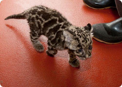 Третий дымчатый леопард в Смитсоновском зоопарке