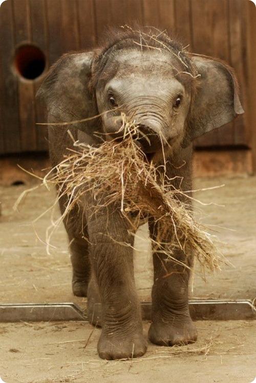 Азиатский слоненок из Остравы