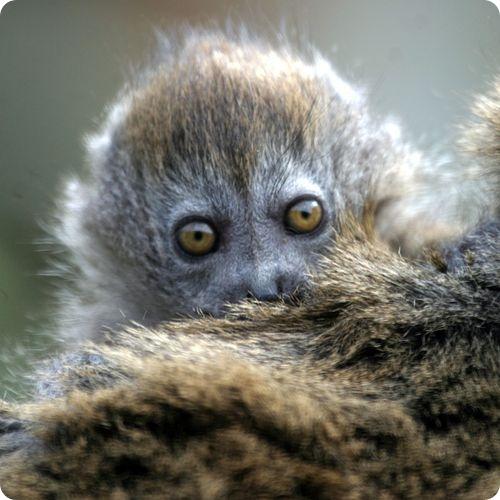 Алаутранский серый лемур из Хемпшира