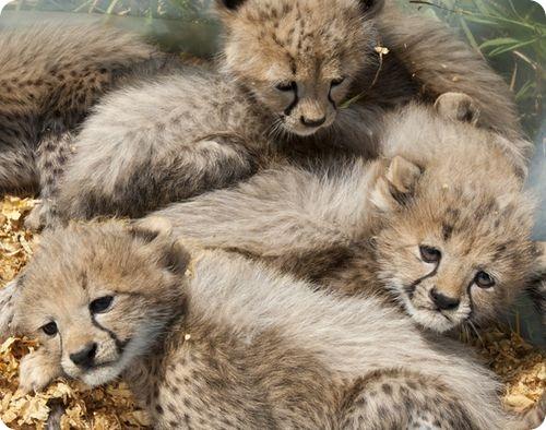 Пять маленьких гепардов из Вирджинии
