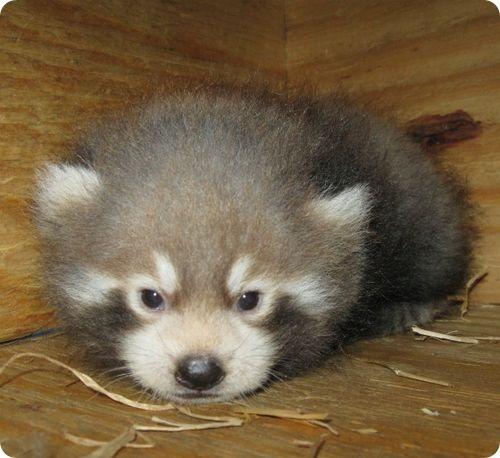 Малые панды из Северной Дакоты