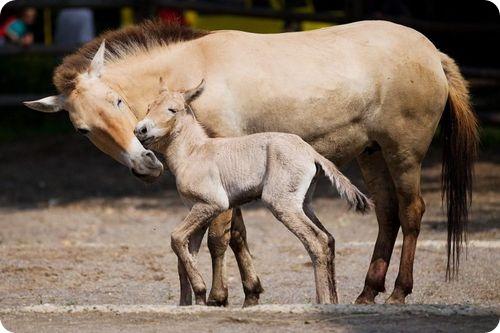 Жеребенок лошади Пржевальского из Праги
