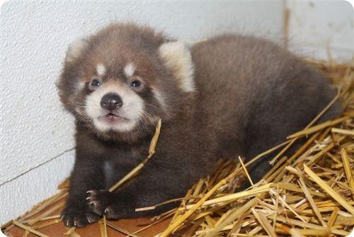 Красная панда из Висконсина