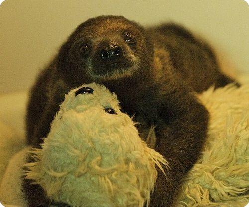 Двупалый ленивец Сид из Бристоля