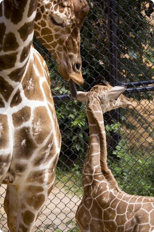 Детеныш жирафа из Атланты