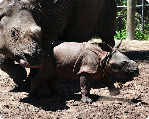Индийский носорог из Тампы