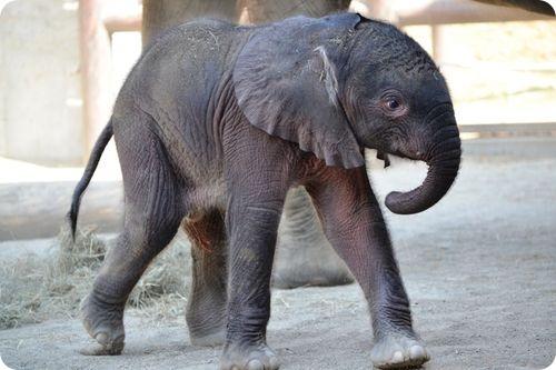 Слоненок из Индианаполиса