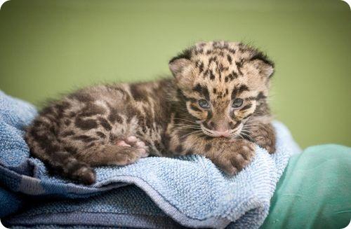 Дымчатые леопарды получили имена