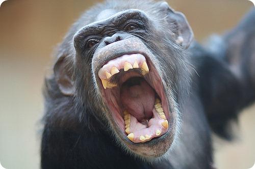 Чарла Нэш и шимпанзе