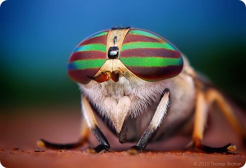 Полосатый слепень Tabanus lineola