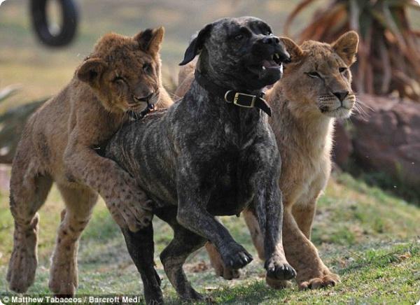 Собака стала матерью для львят!