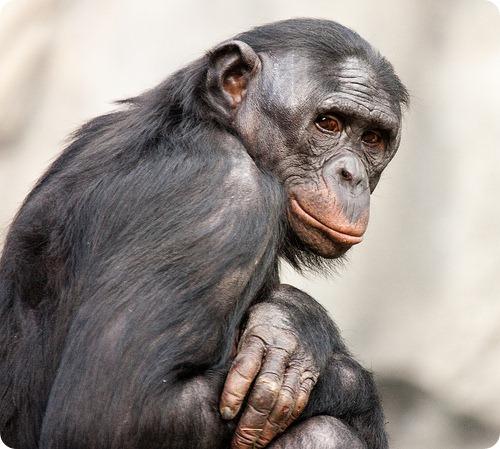 Бонобо