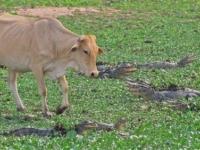 Прогулка по крокодиловому полю