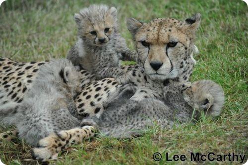 Гепарды из Честера
