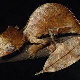 Мадагаскарский плоскохвостый геккон