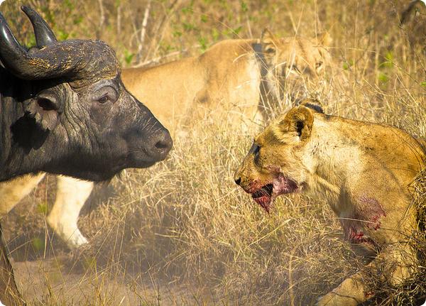 Африканские львы заботятся о потенциальной добыче