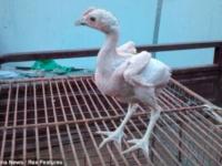 Лысый цыплёнок: уже готов к духовке…