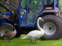 Лебедь Швани разлюбил трактор