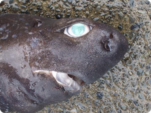 Черные акулы умеют светиться и быть невидимыми