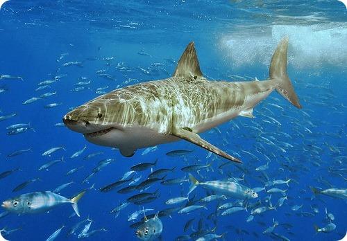 Второе нападение акулы в районе Приморья