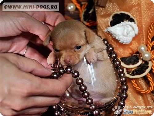 Рыжий щенок той терьера Ви-Ви в винном стакане с ожерельем. Фото ©2011 Mini-Dogs Артур Лукьянов.
